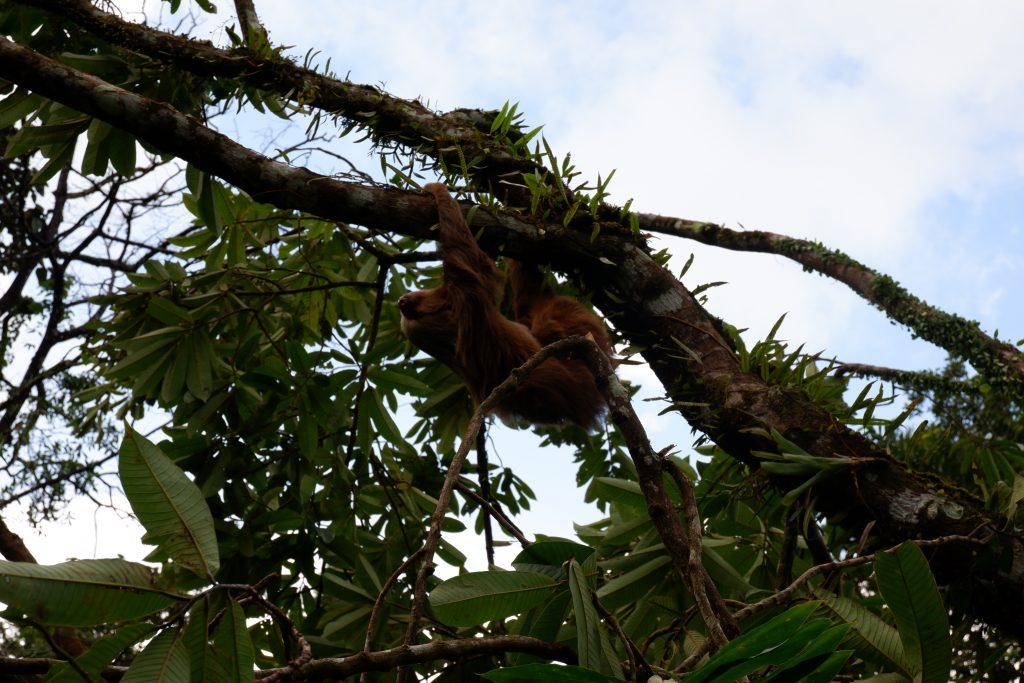 wild sloth costa rica