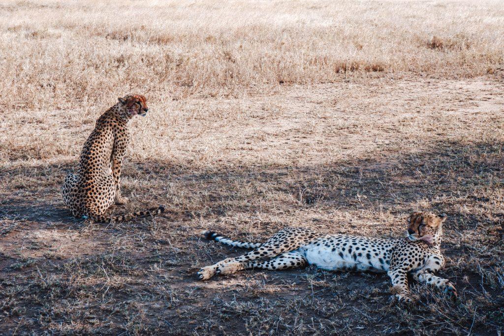 Cheetahs Serengeti Tanzania Africa