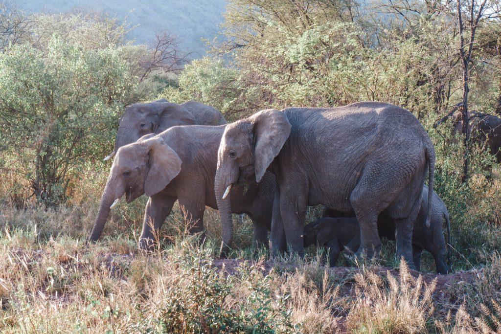 Elephants Serengeti Tanzania Africa